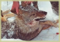 New Hampshire coyote hunting!